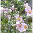 高台寺の貴船菊