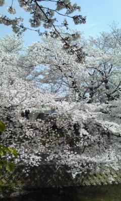 今日の佐保川の桜